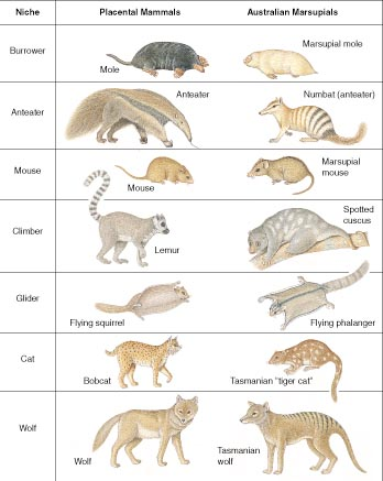 Convergent form and function in placental and marsupial mammals - a famous example of convergent evolution, or better, convergent evolutionary development.